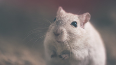 Stowaway rat holds Air India flight back by 12 hours